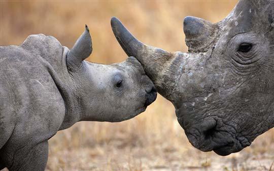 微软今天推出了一款Windows 7/Windows 8官方桌面通用主题《非洲野生动物》,为大家展现了美丽的非洲大草原和那里的野生生物。一只沐浴在肯尼亚晨光中的狮子,一个在纳米比亚徘徊的豹,成群大象在博茨瓦纳旅行……将这些人类的朋友带到桌面与之朝夕相对吧。 官方下载: